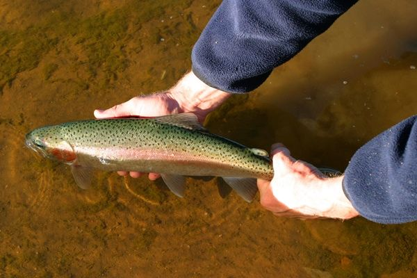 Trout are a hard fighting great tasting fish that are well worth learning how to catch