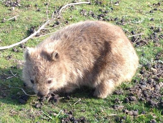 ...and wombats can't take selfies so we didn't want to leave this cute fella out