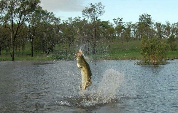 Awoonga Dam offers big freshwater barra
