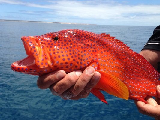 Colorful fish like this coral cod were found out towards Dirk Hartog